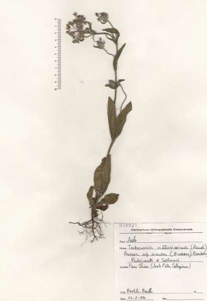 Tuberaria villosissima (Pomel) Grosser