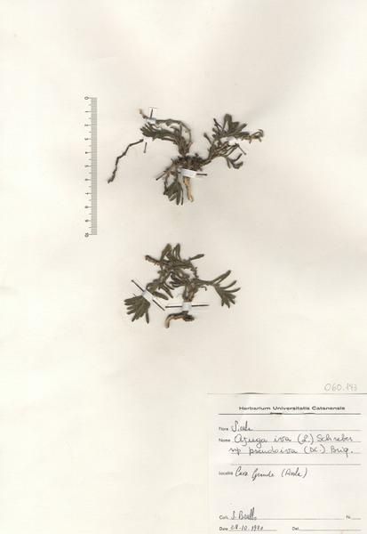 Ajuga iva (L.) Schreb. subsp. pseudoiva (DC.) Briq.