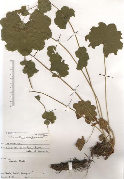 Alchemilla austroitalica Brullo, Scelsi & Spamp.