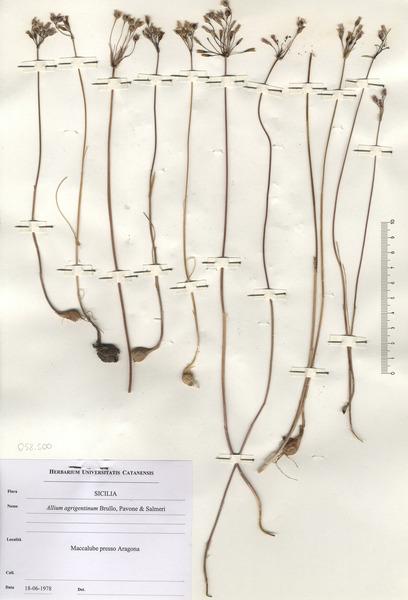 Allium agrigentinum Brullo & Pavone