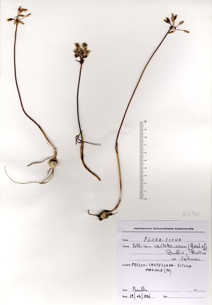 Allium castellanense (Garbari, Miceli & Raimondo) Brullo, Guglielmo, Pavone & Salmeri