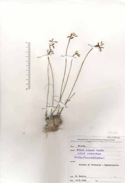 Allium cupanii Raf.