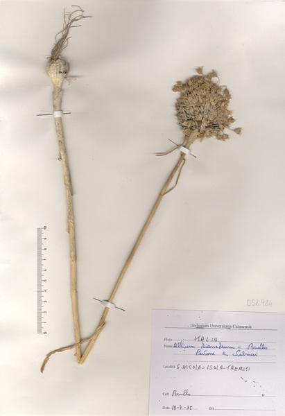 Allium diomedeum Brullo, Guglielmo, Pavone & Salmeri