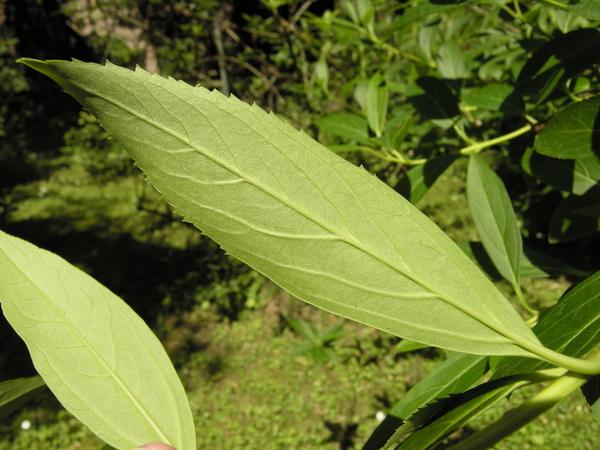 Forsythia viridissima Lindl.