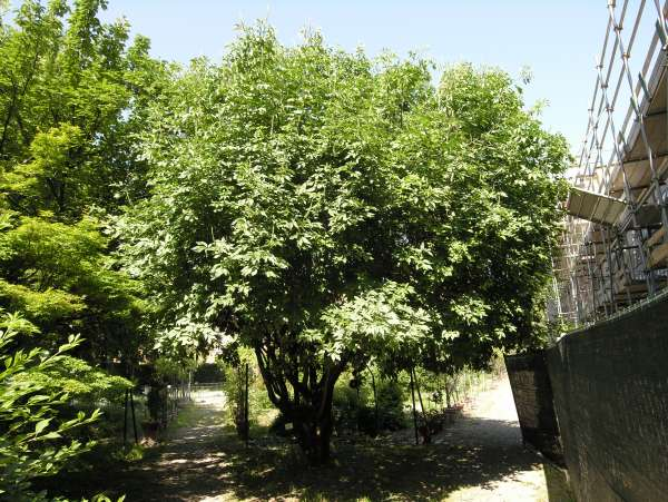 Aesculus chinensis Bunge