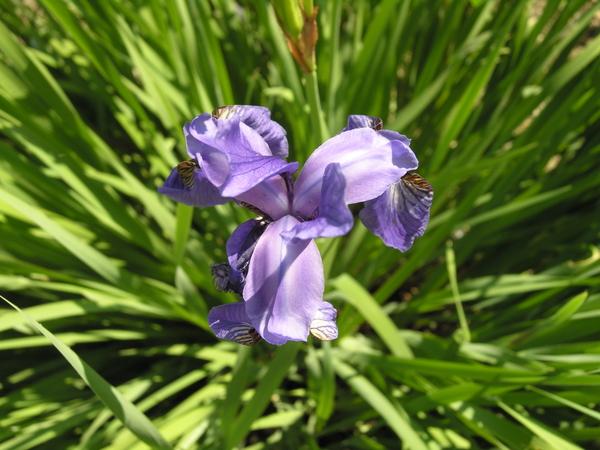 Iris squalens L.