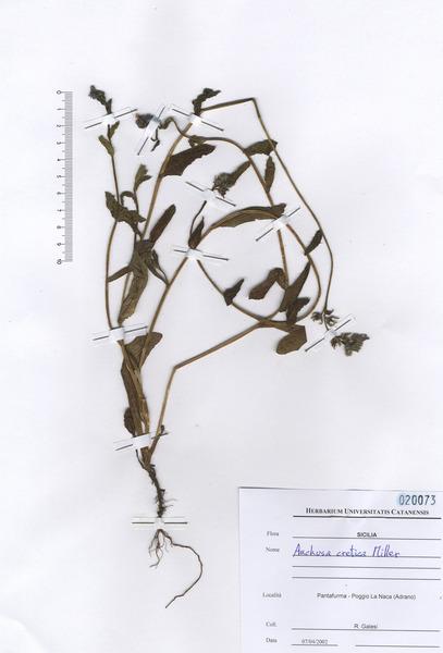 Anchusella cretica (Mill.) Bigazzi, E.Nardi & Selvi