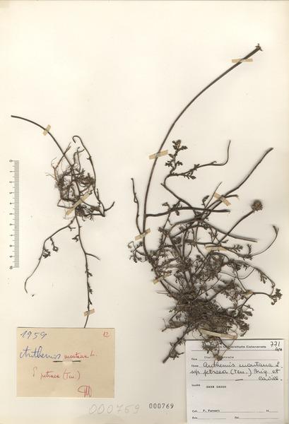Anthemis cretica L. subsp. petraea (Ten.) Greuter