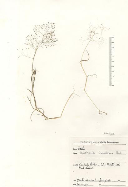 Antinoria insularis Parl.