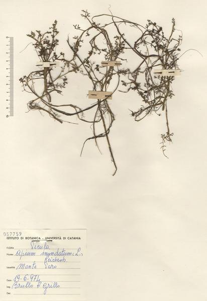 Helosciadium inundatum (L.) W.D.J.Koch