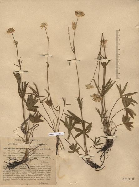 Astrantia pauciflora Bertol. subsp. tenorei (Mariotti) Bechi & Garbari