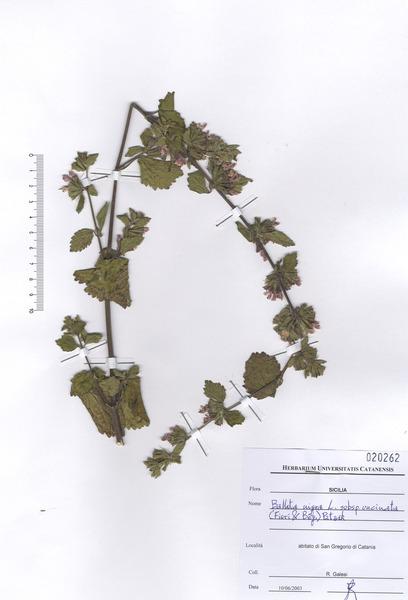 Ballota nigra L. subsp. uncinata (Bég.) Patzak