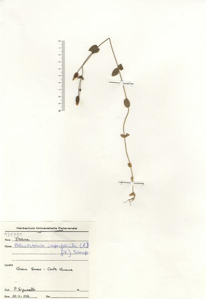 Blackstonia imperfoliata (L.f.) Samp.