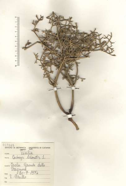 Cachrys libanotis L.