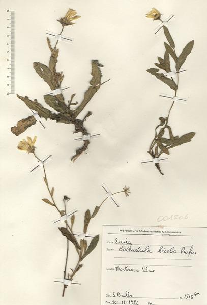 Calendula bicolor Rafin.