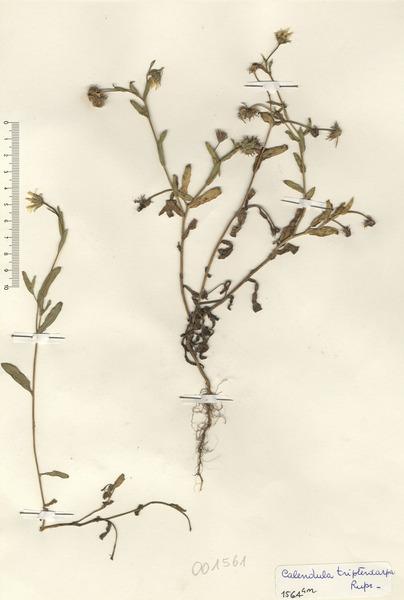 Calendula tripterocarpa Rupr.