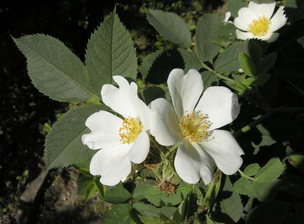 Rosa woodsii Lindl.