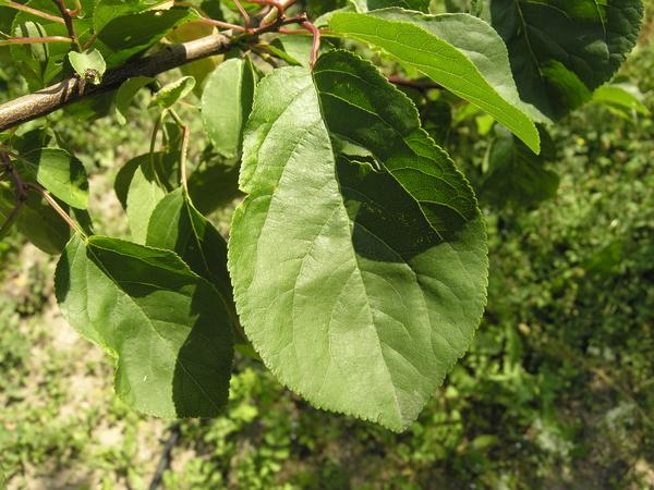 Prunus x dasycarpa Ehrh.