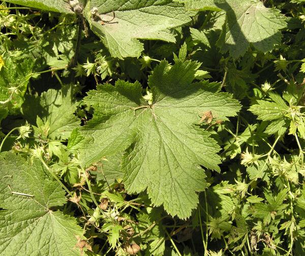 Waldsteinia geoides Willd.