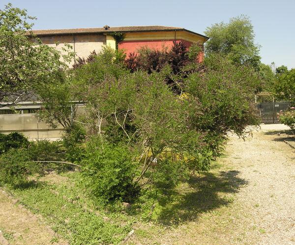 Amorpha californica Nutt.