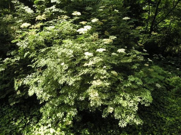 Sambucus nigra L. f. laciniata (L.) Zabel