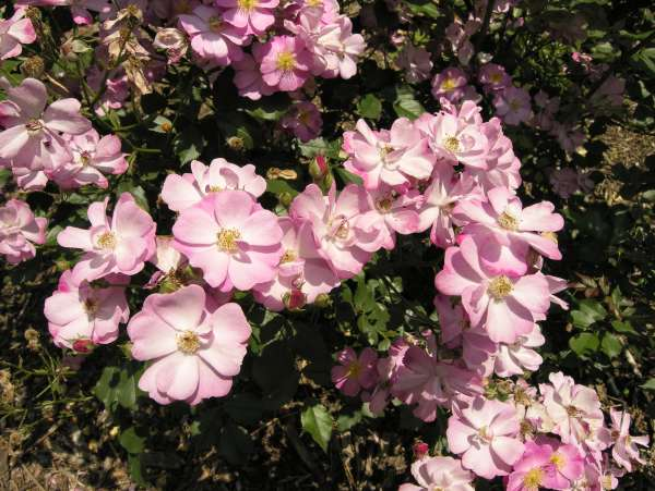 Rosa spp. (cultivars)