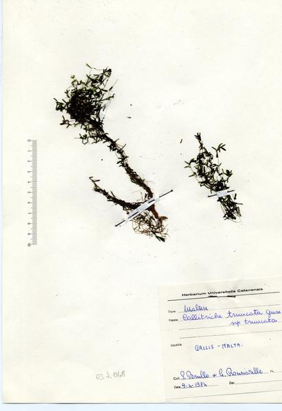 Callitriche truncata Guss. subsp. truncata