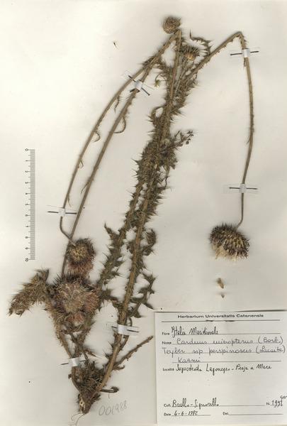 Carduus nutans L. subsp. perspinosus (Fiori) Arènes