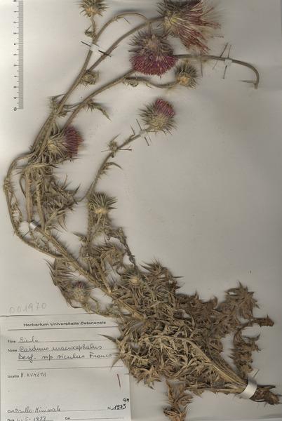 Carduus nutans L. subsp. siculus (Franco) Greuter