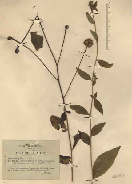 Carpesium cernuum L.
