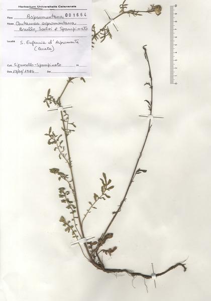 Centaurea aspromontana Brullo, Scelsi & Spamp.