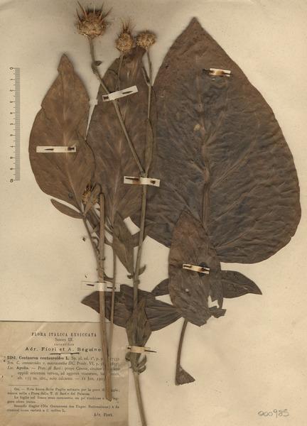 Centaurea centauroides L.