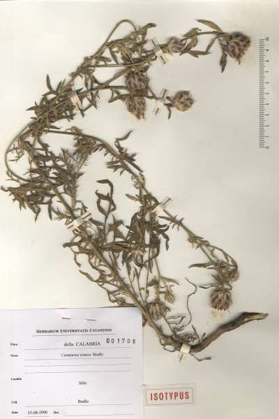 Centaurea ionica Brullo