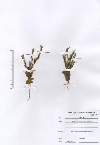 Schenkia spicata (L.) G.Mans.