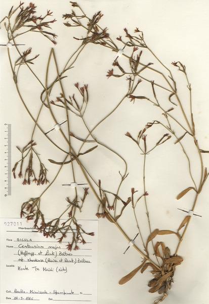Centaurium erythraea Rafn subsp. rhodense (Boiss. & Reut.) Melderis