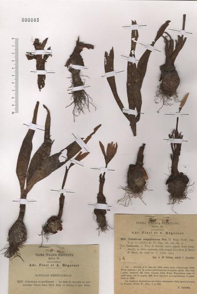 Colchicum neapolitanum (Ten.) Ten. subsp. neapolitanum
