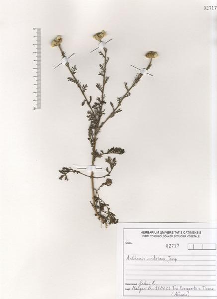 Cota austriaca (Jacq.) Sch.Bip.