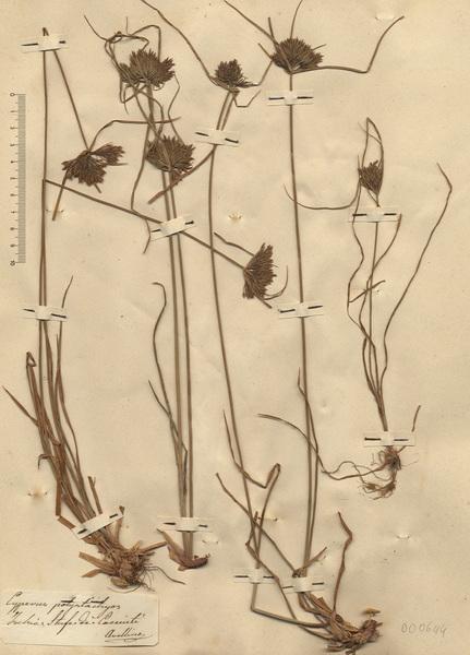 Cyperus polystachyos Rottb.