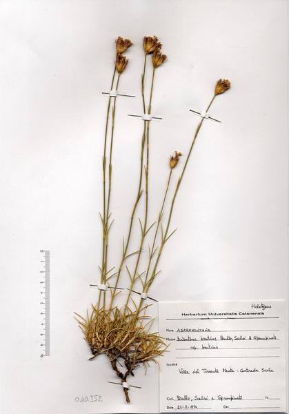 Dianthus brutius Brullo, Scelsi & Spamp. subsp. brutius