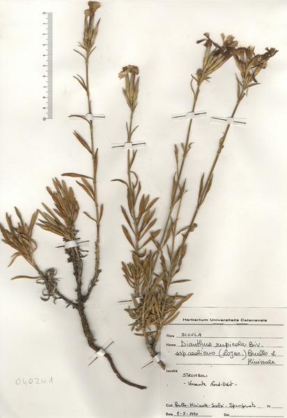Dianthus rupicola Biv. subsp. aeolicus (Lojac.) Brullo & Miniss.