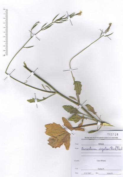 Erucastrum virgatum C.Presl subsp. virgatum