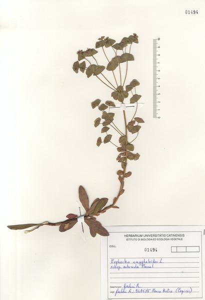 Euphorbia meuselii Geltman