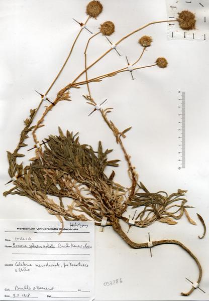 Jasione sphaerocephala Brullo, Marcenò & Pavone