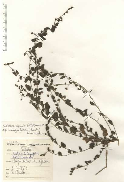 Kickxia spuria (L.) Dumort. subsp. integrifolia (Brot.) R.Fern.