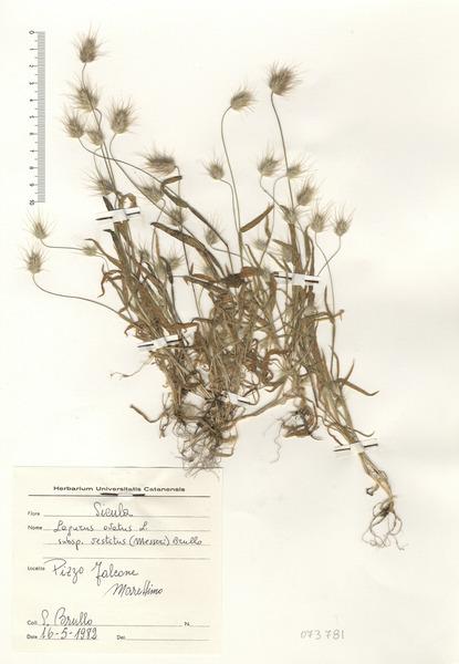 Lagurus ovatus L. subsp. vestitus (Messeri) Brullo