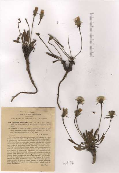 Leontodon berinii (Bartl.) Roth