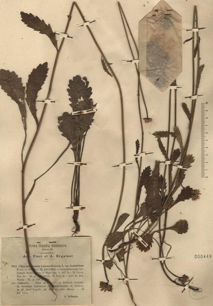 Leucanthemum laciniatum Huter, Porta & Rigo