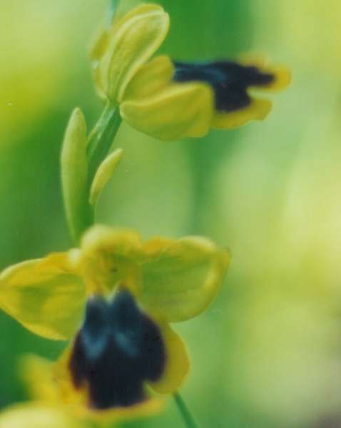 Ophrys archimedea P.Delforge & M.Walravens
