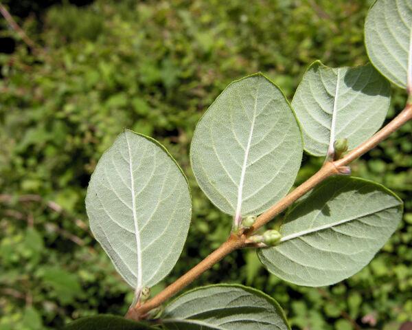 Symphoricarpos orbiculatus Moench