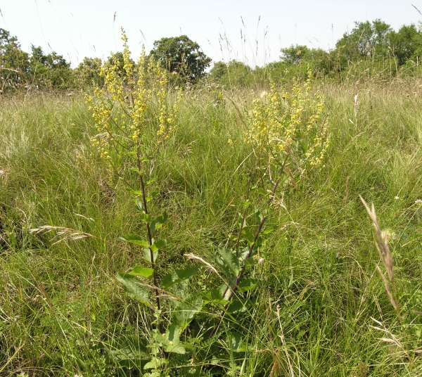 Verbascum chaixii Vill. subsp. chaixii